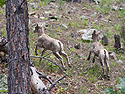 Bighorn lambs, Custer State Park, South Dakota, July 2011.