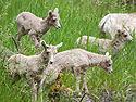 All four bighorn lambs, Custer State Park, South Dakota, July 2011.