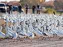 Snow geese on the road, Bosque del Apache NWR, New Mexico, November 2011.