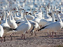 Snow geese, Bosque del Apache NWR, New Mexico, November 2011.