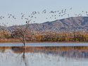 Eagle roosts as snow geese fly by, Bosque del Apache NWR, New Mexico, November 2011.