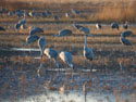 Sandhill cranes, Bosque del Apache NWR, New Mexico, November 2011.