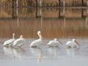 Pelicans, Bosque del Apache NWR, New Mexico, November 2011.