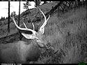 Elk on trail camera as dusk falls, Wind Cave National Park, August 2011.