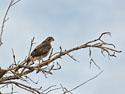 Hawk, Bosque del Apache NWR, New Mexico, November 2011.
