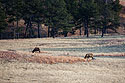 Distant view of elk near where I had the trail camera set up, Wind Cave National Park, South Dakota, December 2011.
