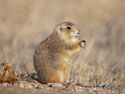 Prairie dog, Wind Cave National Park.