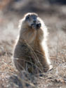 Fat prairie dog, Wind Cave National Park.