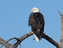 Bald eagle, Custer State Park.