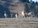 Pronghorns, Custer State Park.