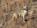 Coyote, Custer State Park.