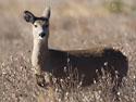 Deer, Custer State Park.