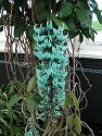 Jade Vine from the Phillipines, New York Botanical Garden, May 2011.