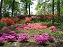 Renovated azalea garden, New York Botanical Garden, May 2011.