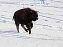 Bison calf looking for its mother, Custer State Park, SD, January 2011.