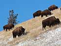 Bison hit the slopes, Custer State Park, SD, January 2011.
