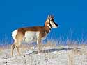 Pronghorn, Custer State Park, SD, January 2011.