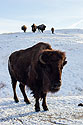 Bison, Custer State Park, SD, January 2011.