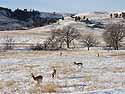 Pronghorns, Custer State Park, SD, January 2011.