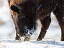 Bison sweeps away the snow with his nose, Custer State Park, SD, January 2011.