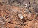 Bighorn sheep, Cleghorn Canyon, Rapid City, SD, January 2011.