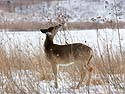 Deer in Neal Smith NWR near Des Moines, Iowa, February 2011.