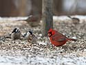 Cardinal at feeder, Credit Island, Iowa, February 2011.