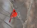Cardinal, Credit Island, Iowa, February 2011.