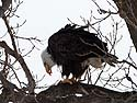 Bald Eagle having a meal, Keokuk, Iowa, February 2011.