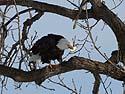 Bald Eagle having a meal, Keokuk, Iowa, February 2011.