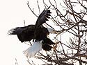 Bald Eagle coming in for a landing, Keokuk, Iowa, February 2011.