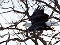 Bald Eagle taking off, Keokuk, Iowa, February 2011.