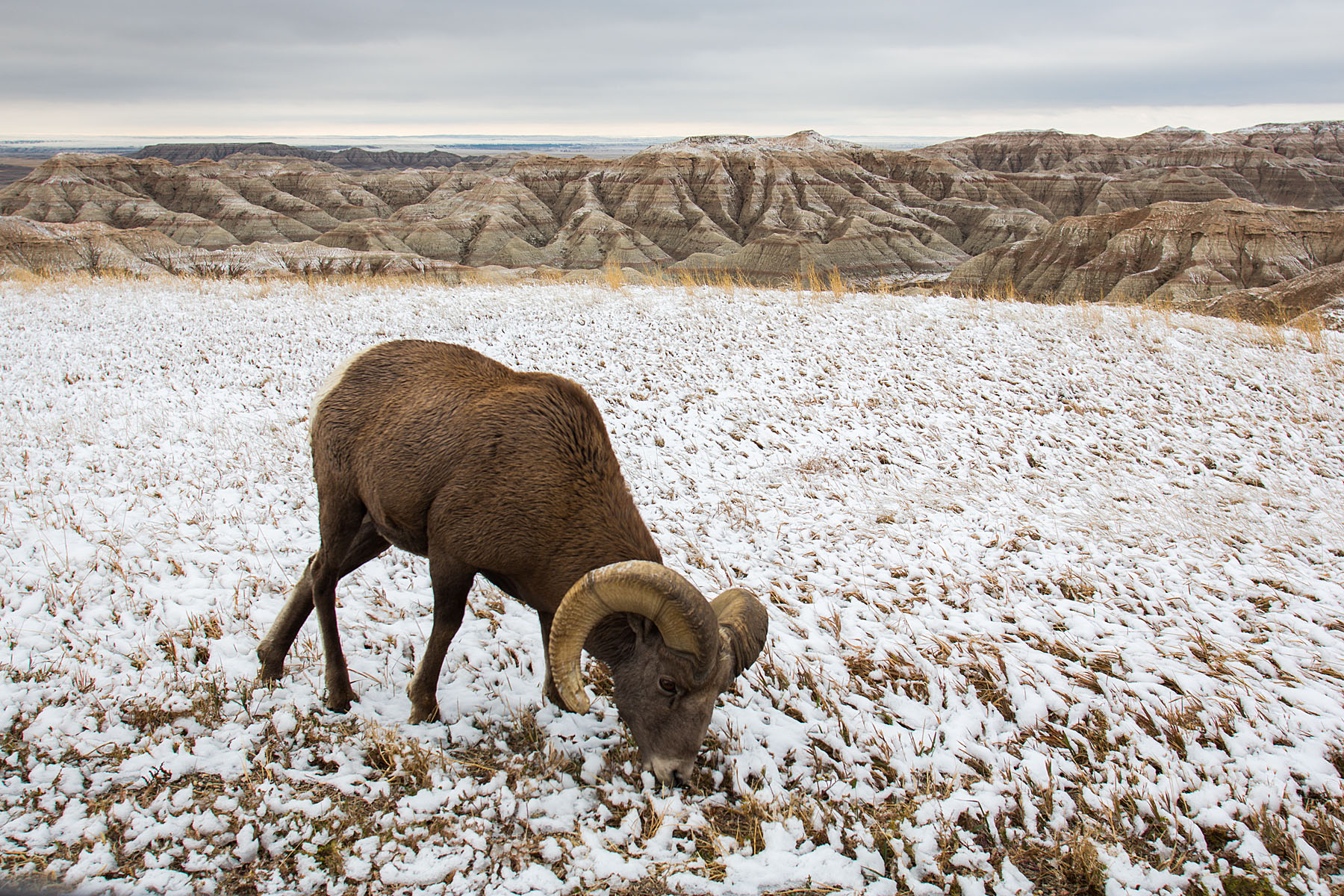 Bighorn sheep in South Dakota Badlands after an October snow.  I was on the wrong side of the car so I passed the camera to my future fiancé Sue, who took this shot.  Click for next photo.