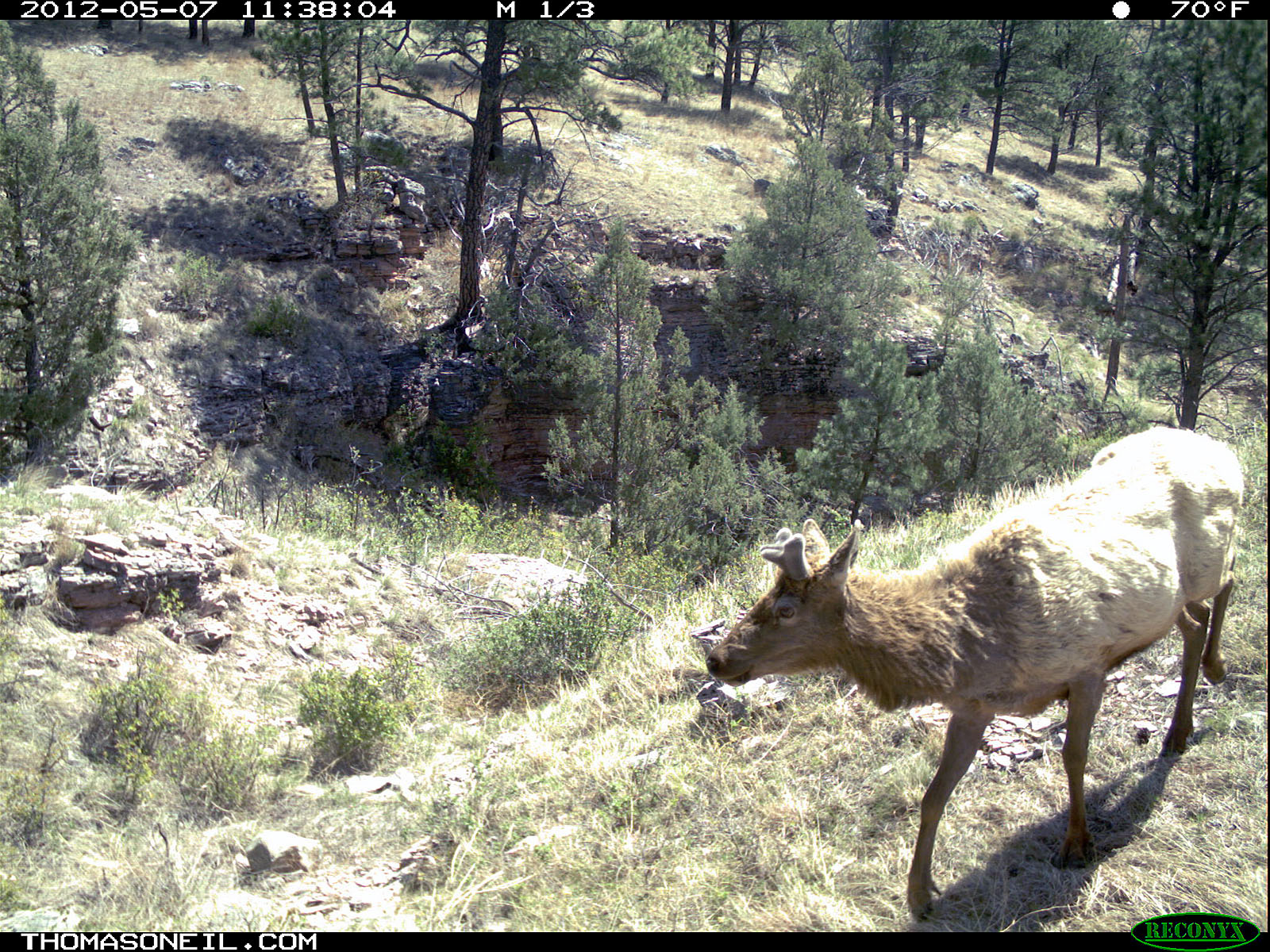 Trailcam picture of elk, Wind Cave National Park, May 7.