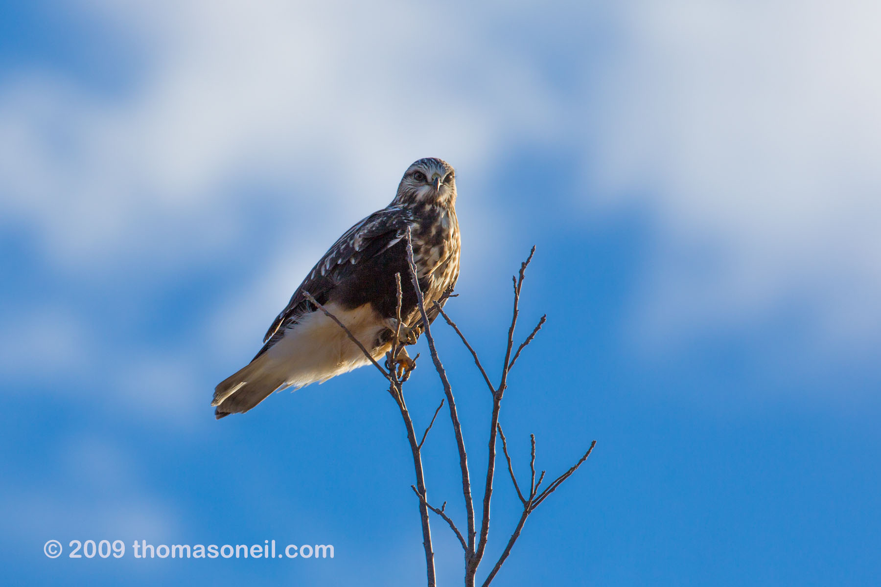 Rough-legged hawk, Squaw Creek National Wildlife Refuge, Missouri, December.    Click for next photo.