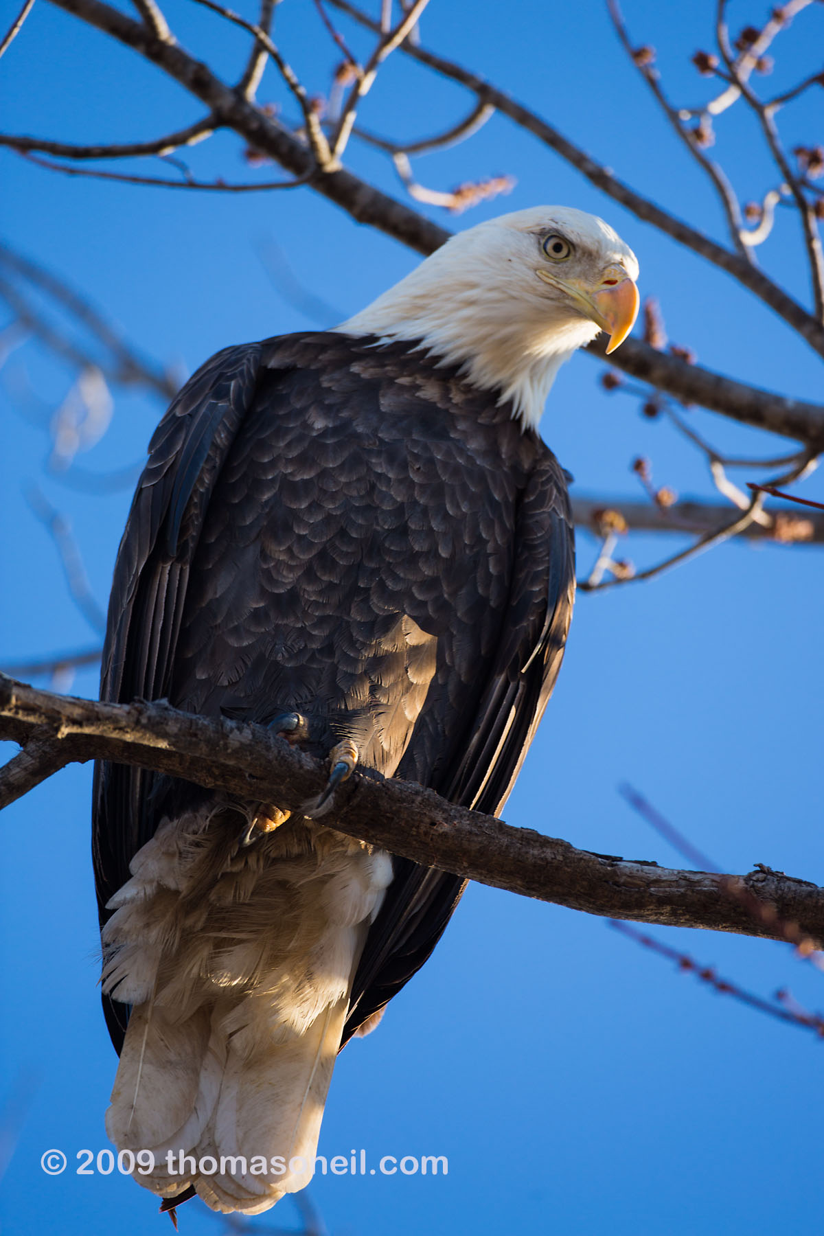 Bald eagle, Squaw Creek National Wildlife Refuge, Missouri, December.    Click for next photo.