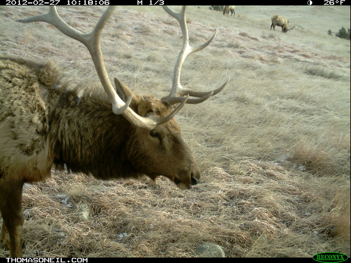 Elk, trail camera in Wind Cave National Park, February 2012.  Click for next photo.