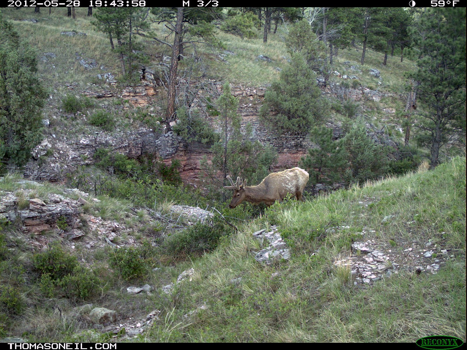 Trailcam picture of elk, Wind Cave National Park, May 28.  Click for next photo.