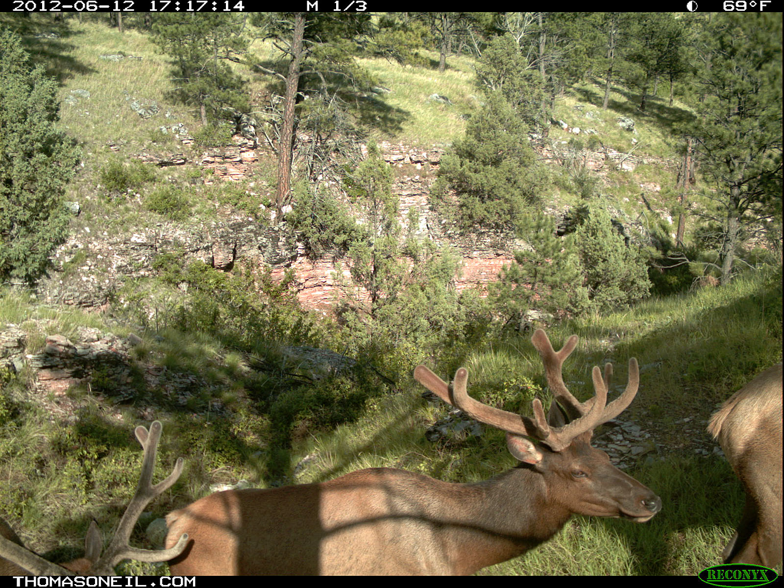 Trailcam picture of elk, Wind Cave National Park, June 12.