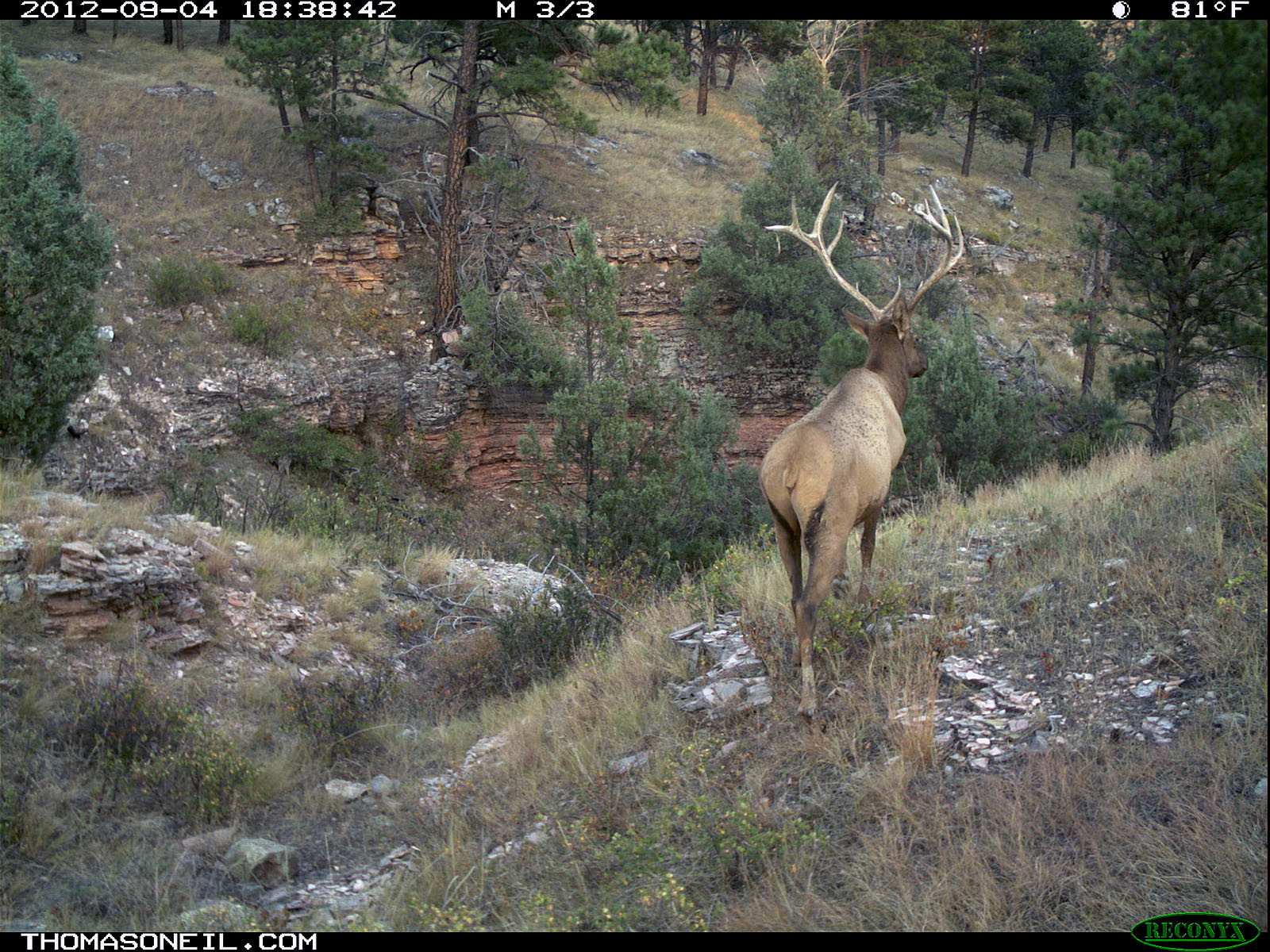 Trailcam picture of elk, Wind Cave National Park, September 4.  Click for next photo.