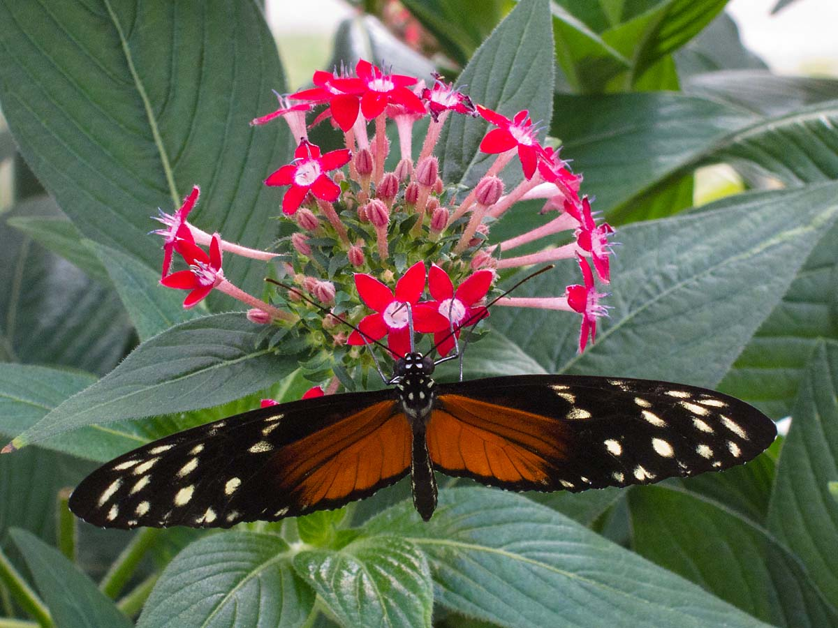 Wings of Mackinac Butterfly Conservatory, Mackinac Island, Michigan, August 2012.  Click for next photo.