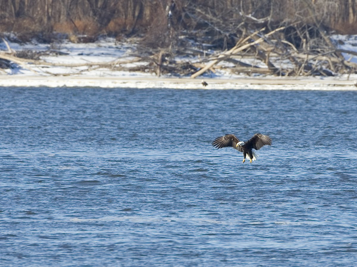 Eagle swooping low, Lock and Dam 18, Iowa/Illinois, January 2012.  Click for next photo.