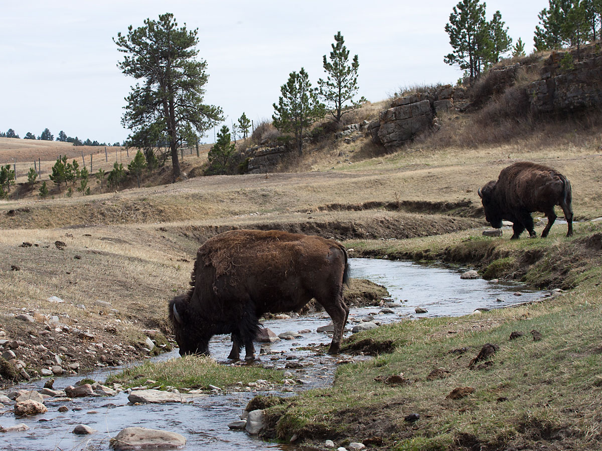 Bison getting a drink, Wind Cave National Park, April 2012.  Click for next photo.
