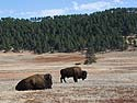 Bison, Custer State Park, October.