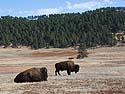 Bison, Custer State Park, October.