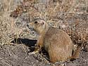Prairie dog, Wind Cave National Park, October.