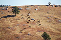 Sixteen elk on a hillside, Wind Cave National Park, October.