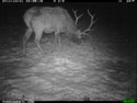 Elk and a little bit of snow, trail camera in Wind Cave National Park, December 2011.