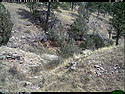 Trailcam picture of coyote, Wind Cave National Park, September 4.