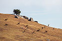 Elk on a hillside, Wind Cave National Park, October.